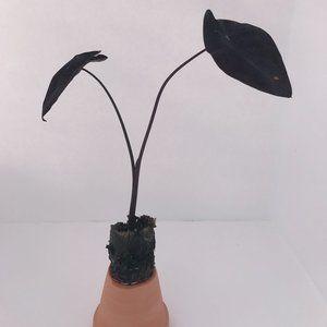 Colocasia 'Black Ripple', Elephant Ear